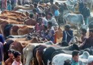 করোনায় কেমন হবে 'কোরবানির পশুর হাট'