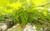মাঁচা পদ্ধতিতে আঙ্গুর চাষ জনপ্রিয় হচ্ছে নওগাঁয়